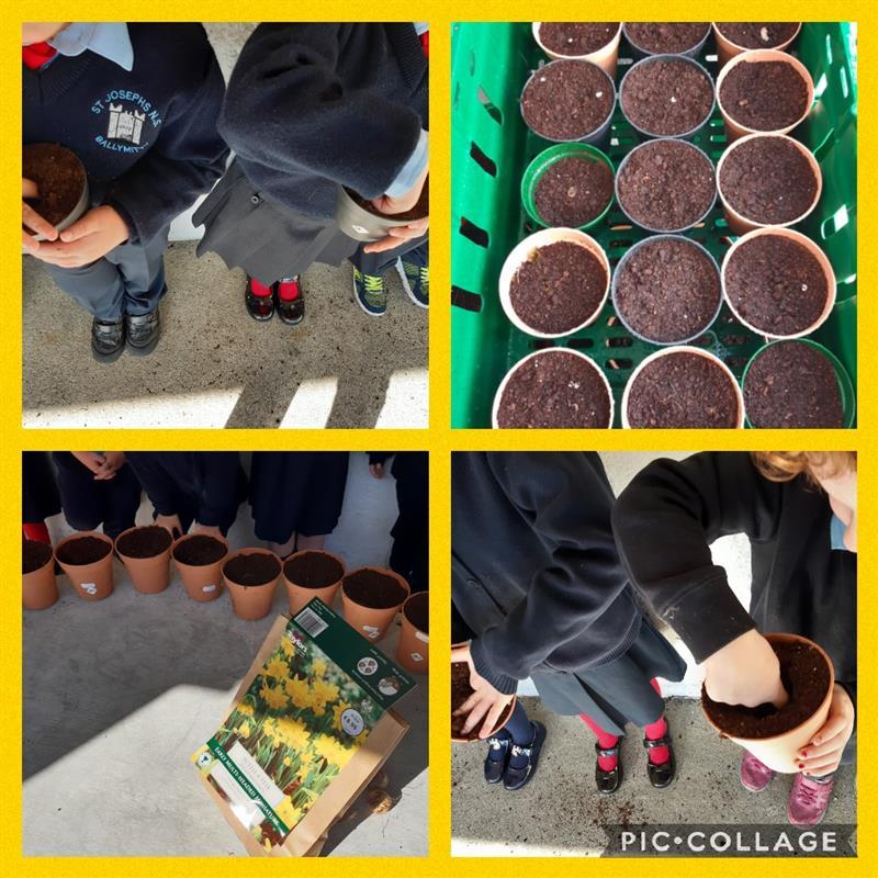 Daffodil bulb planting.jpg